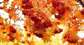 Петр и Павел Рябинники - сушим и замораживаем ягоды, готовим рябиновку