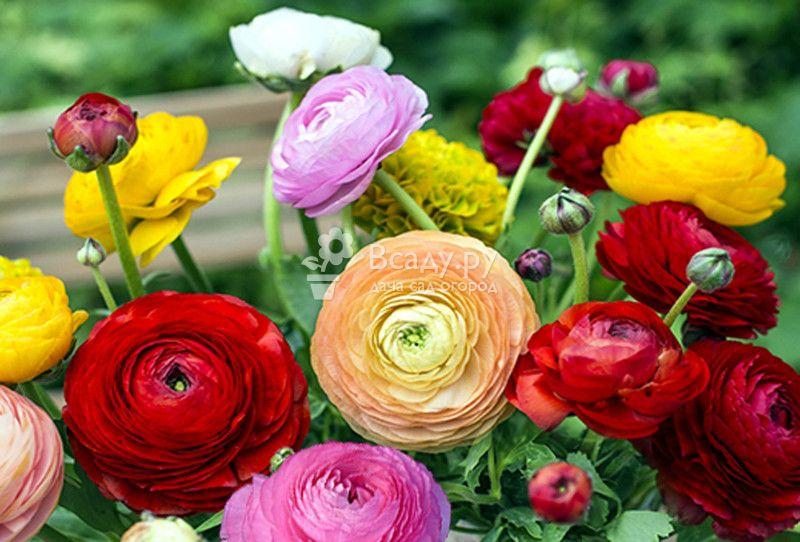 Ранние сорта лютика цветут в мае, поэтому его называют весенняя роза