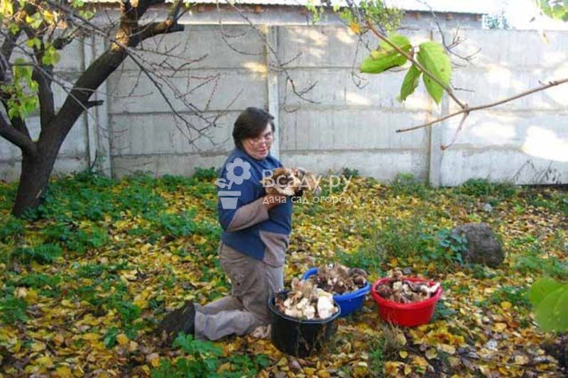 Собираем урожай грибов на даче