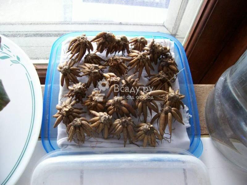 Клубни ранункулюса должны быть цельными и сухими